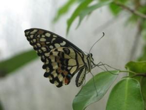 Le farfalle della Collodi Butterfly House
